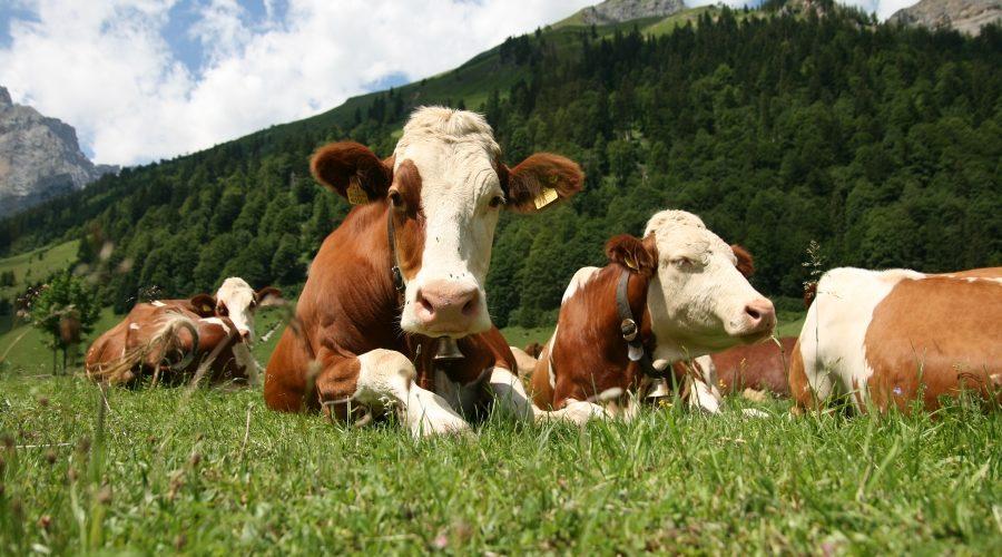 Carne Grass Fed: cos'è e perché è importante sceglierla