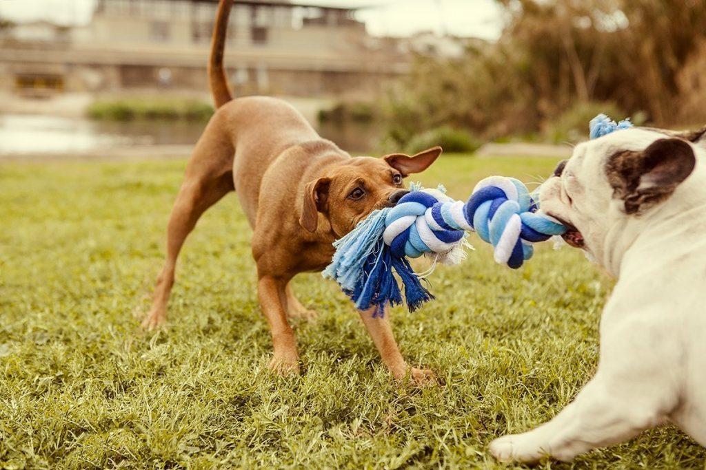 cani giocano con la corda