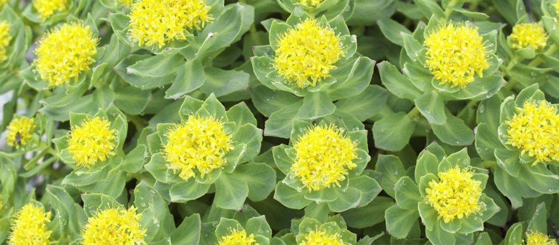 Rhodiola rosea: utile per dimagrire e potente antidepressivo!